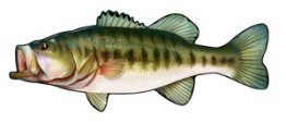 Largemouth Bass Profile Fish Decal